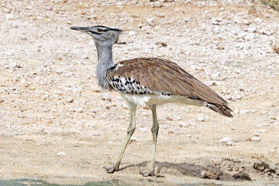 Junto al cóndor, el cisne y el pavo, el kori bustard es una de las aves voladoras más pesadas.