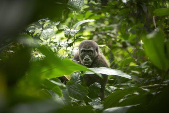 Bassin du Congo | Gorille des plaines occidentales