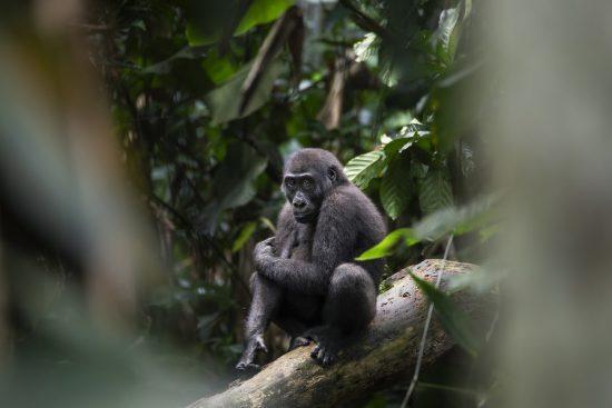 Westlicher Flachlandgorilla im Kongobecken (Odzala)