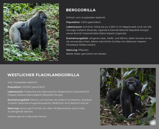 Kongo - Gorilla: Vergleich zwischen Westlichem Flachlandgorilla und Berggorilla