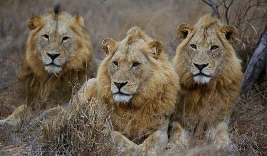 Drei männliche Löwen - Teil der einzigartigen Tierwelt im Timbavati Reservat