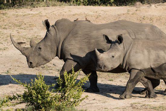 Zwei Spitzmaulnashörner in der afrikanischen Wildnis