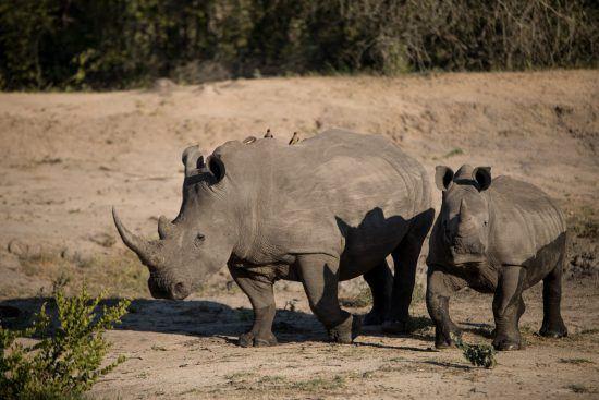 Nashorn mit Nachwuchs in der afrikanischen Wildnis