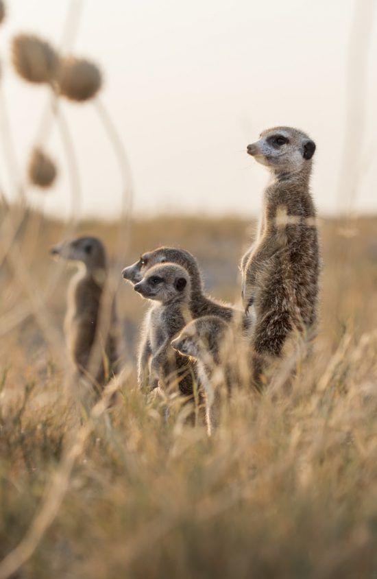Cada suricata tiene una función concreta dentro de su sistema organizativo.