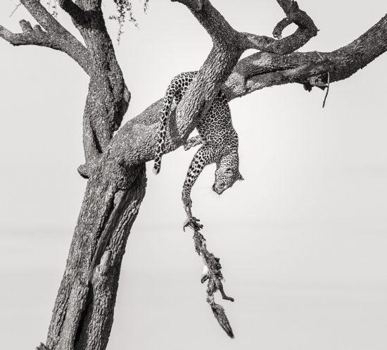 Ein Leopard in einem Baum krallt sich an seiner herunterfallenden Beute fest - Gewinnerfoto von Africa's Photographer of the Year