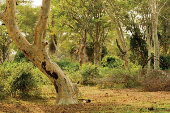 Der Fever Tree Forest im nördlichen Krüger Nationalpark