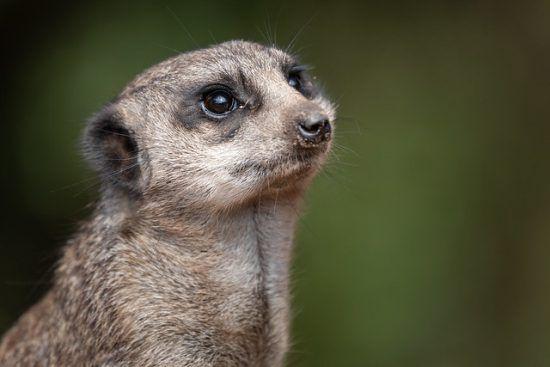 ¿Quién podría pensar mal de las suricatas?