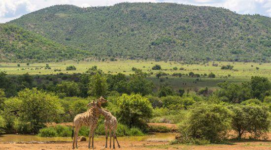 Zwei Giraffen im Pilanesberg Game Reserve