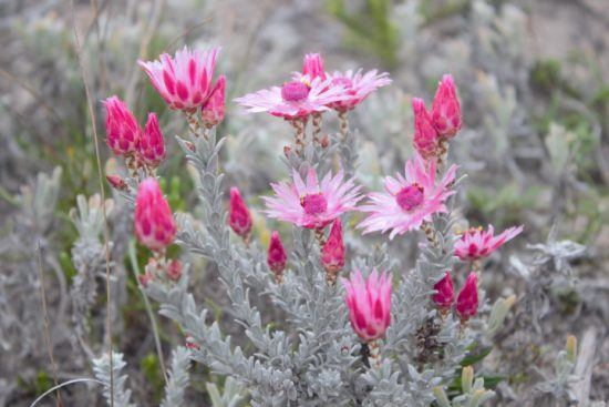 Blühende Pflanze im De Hoop Nature Reserve