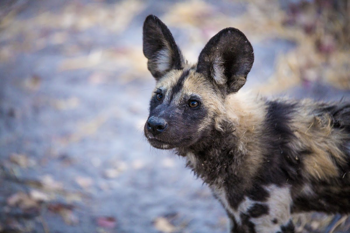 African wild dog close-up of face