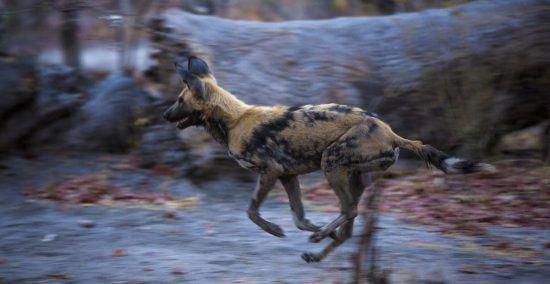 Afrikanischer Wildhund im Lauf