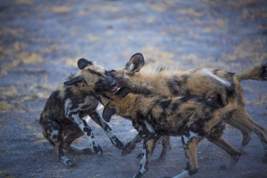 Weshalb wir Afrikanische Wildhunde lieben: Niedliches Begrüßungsritual