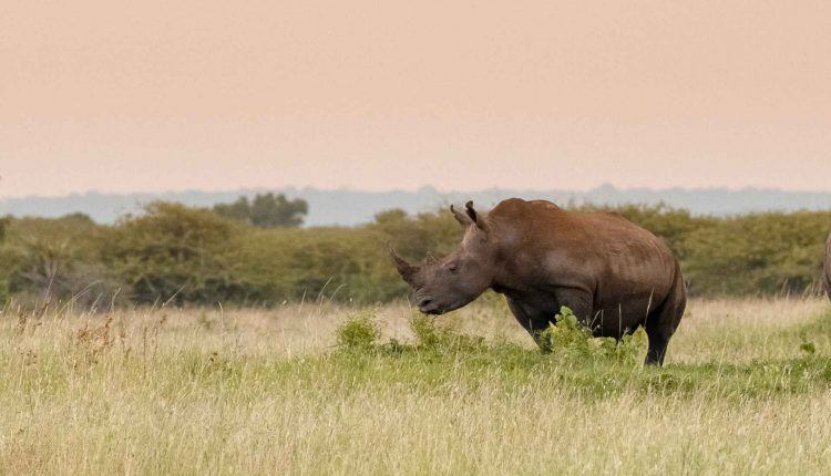 &Beyond Phinda Private Game Reserve's rhino wildlife in KwaZulu-Natal