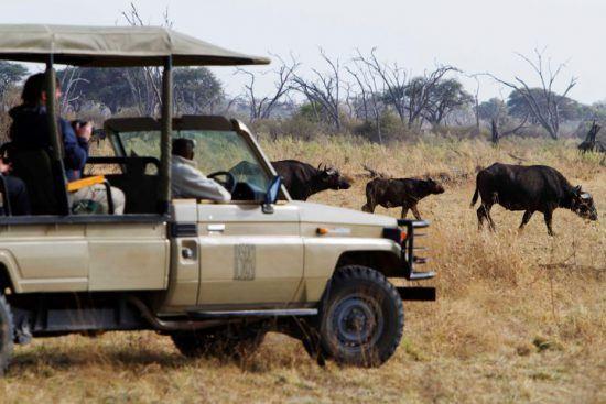 Urlauber im Pirschfahrzeug beobachten Büffel