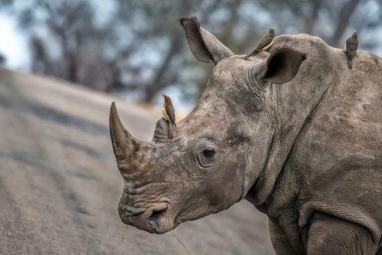 El Kruger todavía acoge a varias decenas de este animal