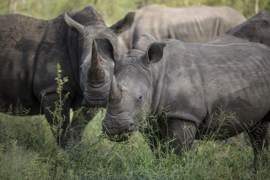 Rhinos graze in the bush