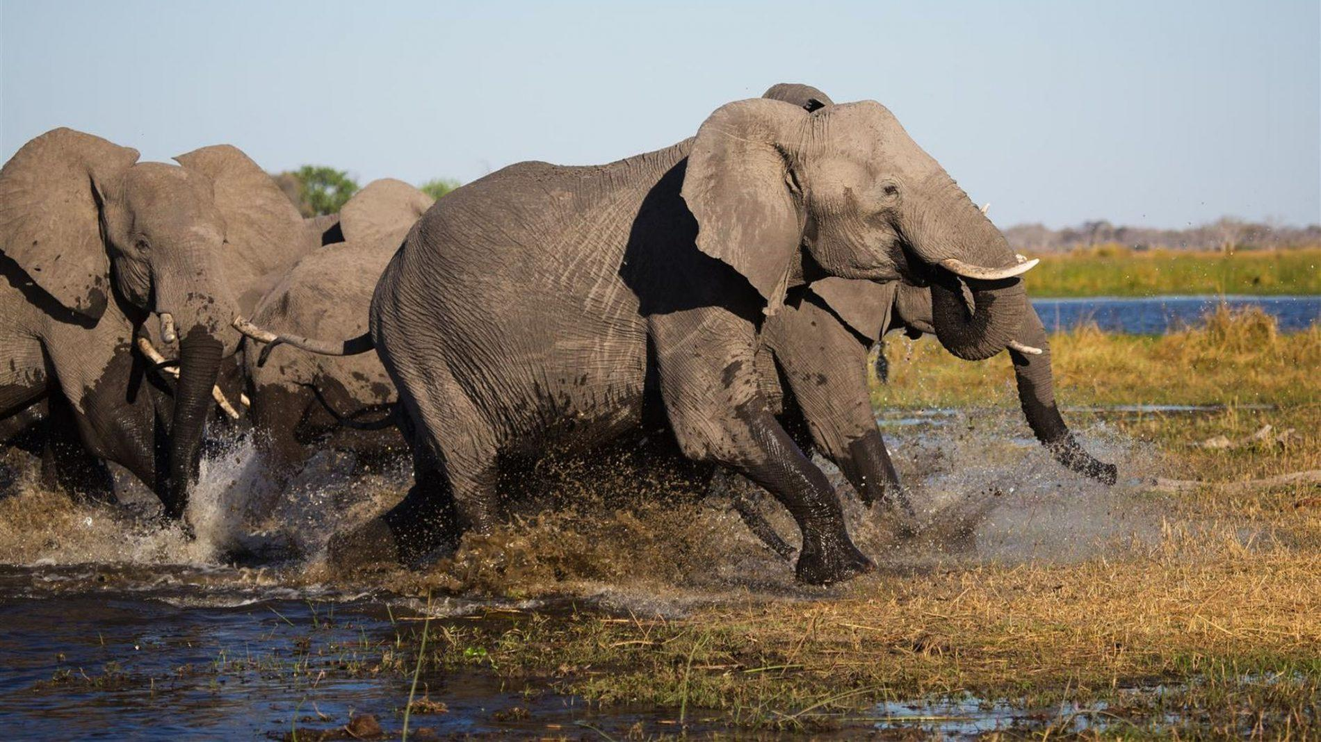 Elephants running through the Chobe River.