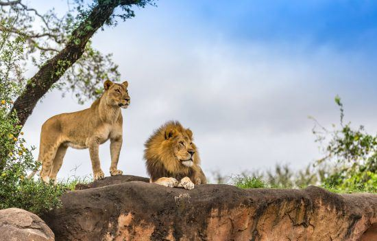 Löwenweibchen und -männchen in freier Wildbahn