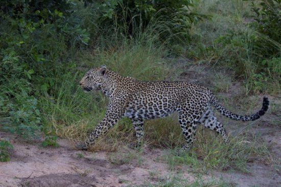 Eine Leoparding streift durchs Sabi Sand Game Reserve
