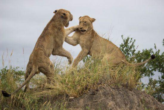 Zwei Löwen kämpfen spielerisch in der Krüger-Region