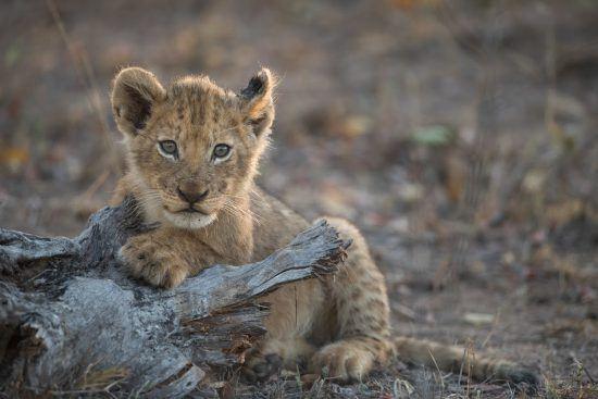 Ein kleines Löwenbaby im südafrikanischen Busch