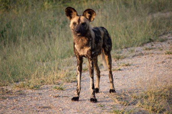 Nahaufnahme eines Afrikanischen Wildhunds in der Greater Kruger Area