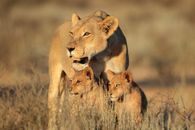 Lioness and cubs in the Kalahari Desert