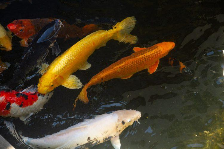 Koi fish at Delaire Graff Estate in Stellebosch Winelands