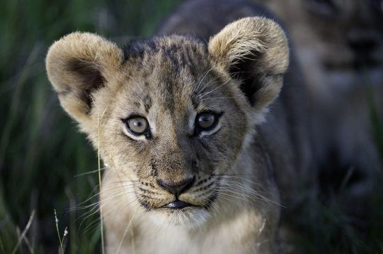 A lion cub in the Okavango Delta
