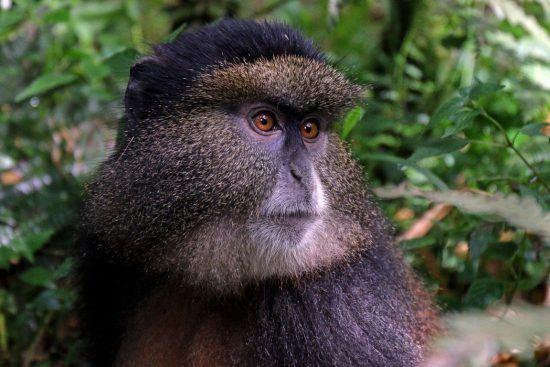 Tourisme au Rwanda | Singe doré
