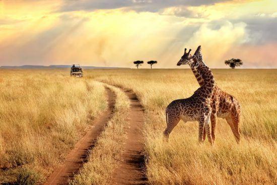 Bucket List Ideen 2020: Zwei Giraffen in malerischer Kulisse in der Serengeti