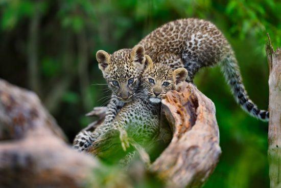 Ultimative Safari im südlichen Afrika mit besten Tiersichtungen: Leoparden-Nachwuchs auf einem Ast