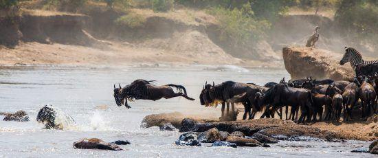 Great Migration in Ostafrika: Gnus beim Überqueren eines Flusses