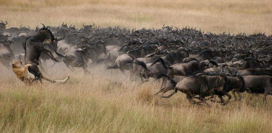 Wildlife often come into conflict along the migratory route