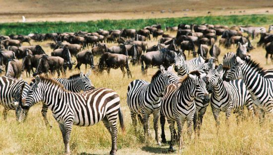 Zebra tend to join in on the action in this Great Migration Safari