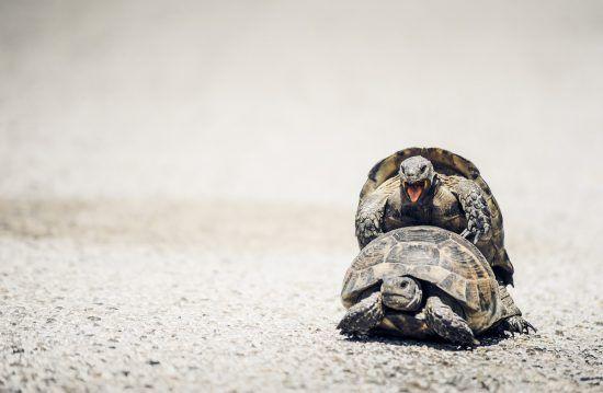 Zwei Schildkröten beim Paaren