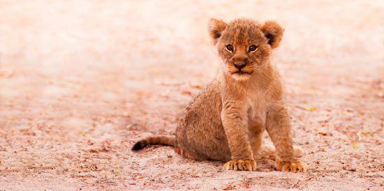 Ein kleines Löwenbaby