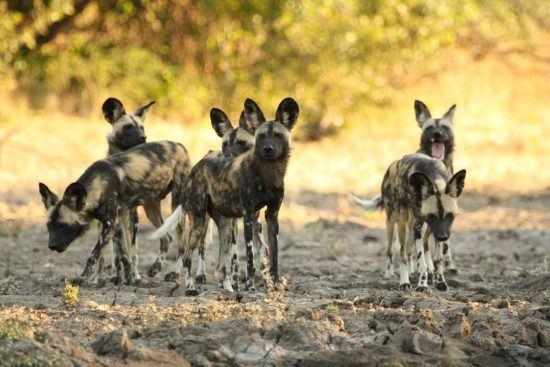 Educational Trips: Ein Rudel Afrikanischer Wildhunde