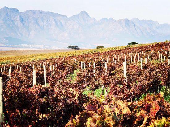 Weinreben im Kap-Weinland in Südafrika
