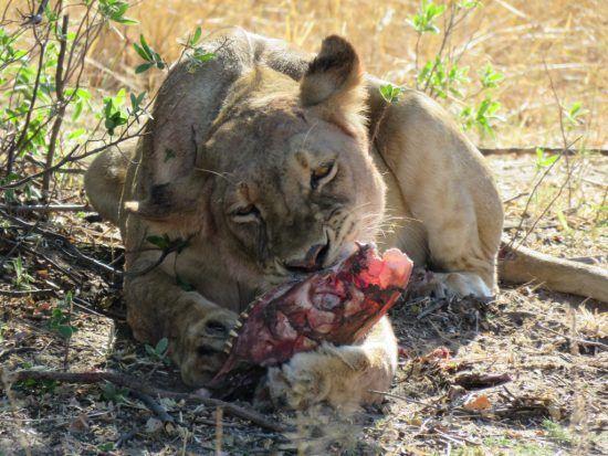 Lion pendant notre safari à Somalisa
