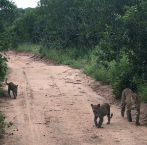Carl's leopardess and two cubs