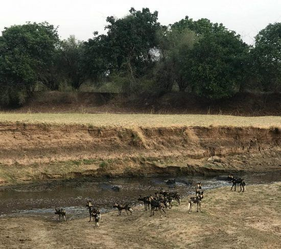 Carl's wild dogs at Lion Sand