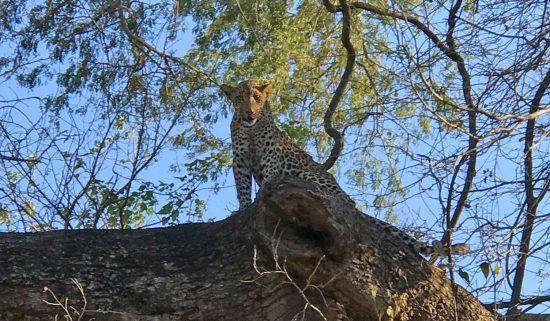 Carl's leopard from walking safari in Zambia