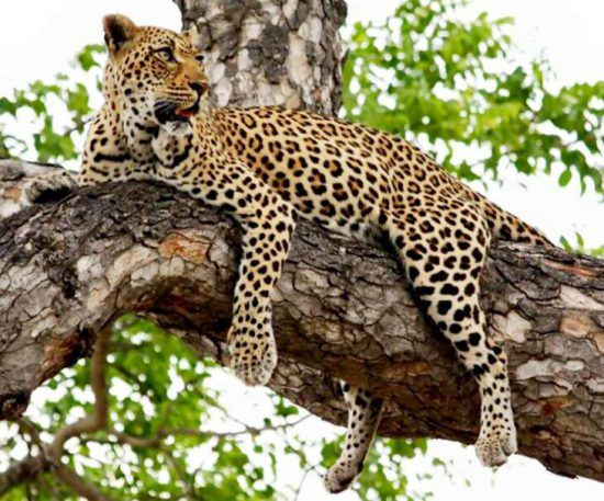 Samantha's sighting: Leopard in a tree at Londolozi