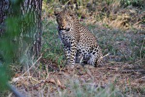 Perfect dappled complexion of Ndzutini at Silvan Safari