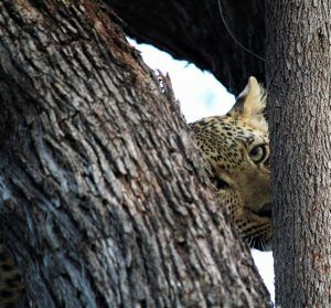 Ndzutini female leopard at Silvan Safari