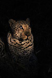 Hukumuri male leopard at Silvan Safari