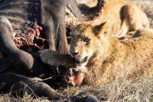 Lion cubs at Silvan Safari