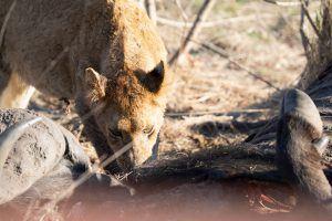 Lion on buffalo carcass at Silvan Safri