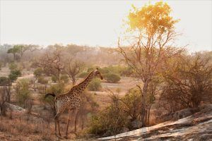 Giraffe at Sunrise at Silvan Safari